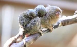 Worlds-smallest-monkeys-give-birth