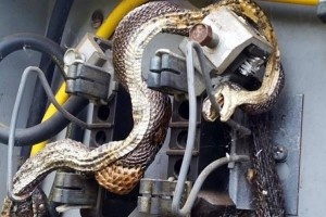 City-workers-find-snake-electrocuted-while-eating-snake