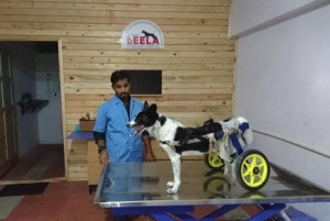 Injured-dog-walks-again-with-cart-designed-by-Indian-vet