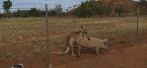 kangaroo-pig-600x280