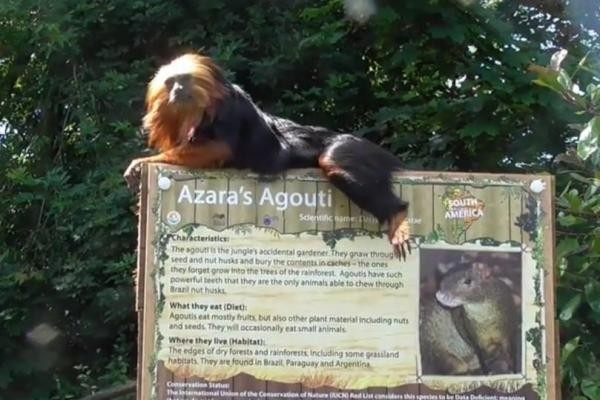 Monkey-assaults-incorrect-sign-at-British-zoo-labeling-him-a-rodent