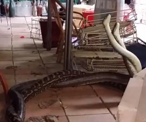 Australia-pythons-fighting-kitchen
