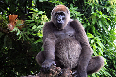 N6.8 million: Kano state zoo has no gorilla - Ganduje