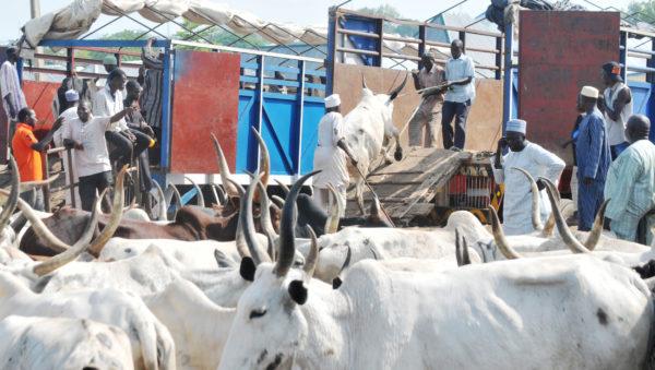 Bizarre !!!! Police arrest 200 cows in Adamawa State