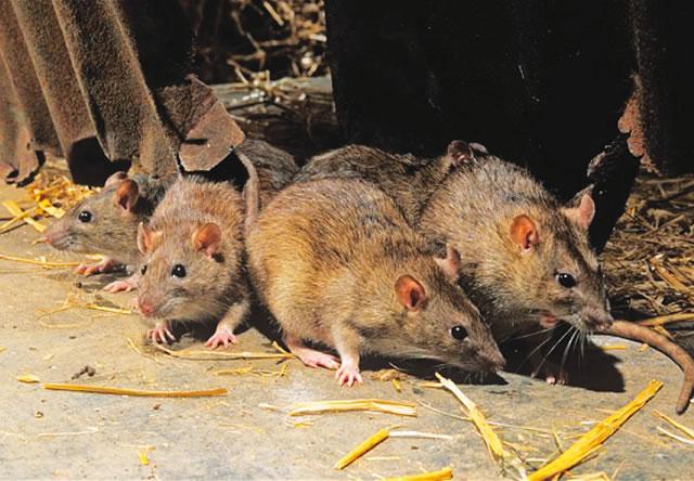 Lassa rats