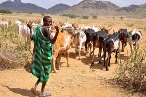 Scary reason why herdsmen never ever eat cows - Fani-Kayode