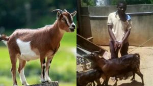 Video: Man Caught Sleeping Caught Sleeping With Ram