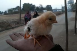 Two-day-old chick with extra limb