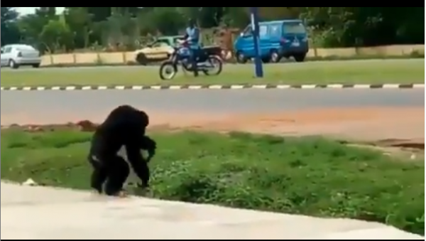 Gorilla Escapes From Unilorin Zoo (Video)