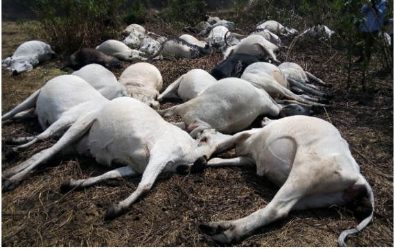 Thunder Strikes Cows dead in Ondo