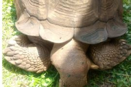 Ancestral tortoise, Alagba